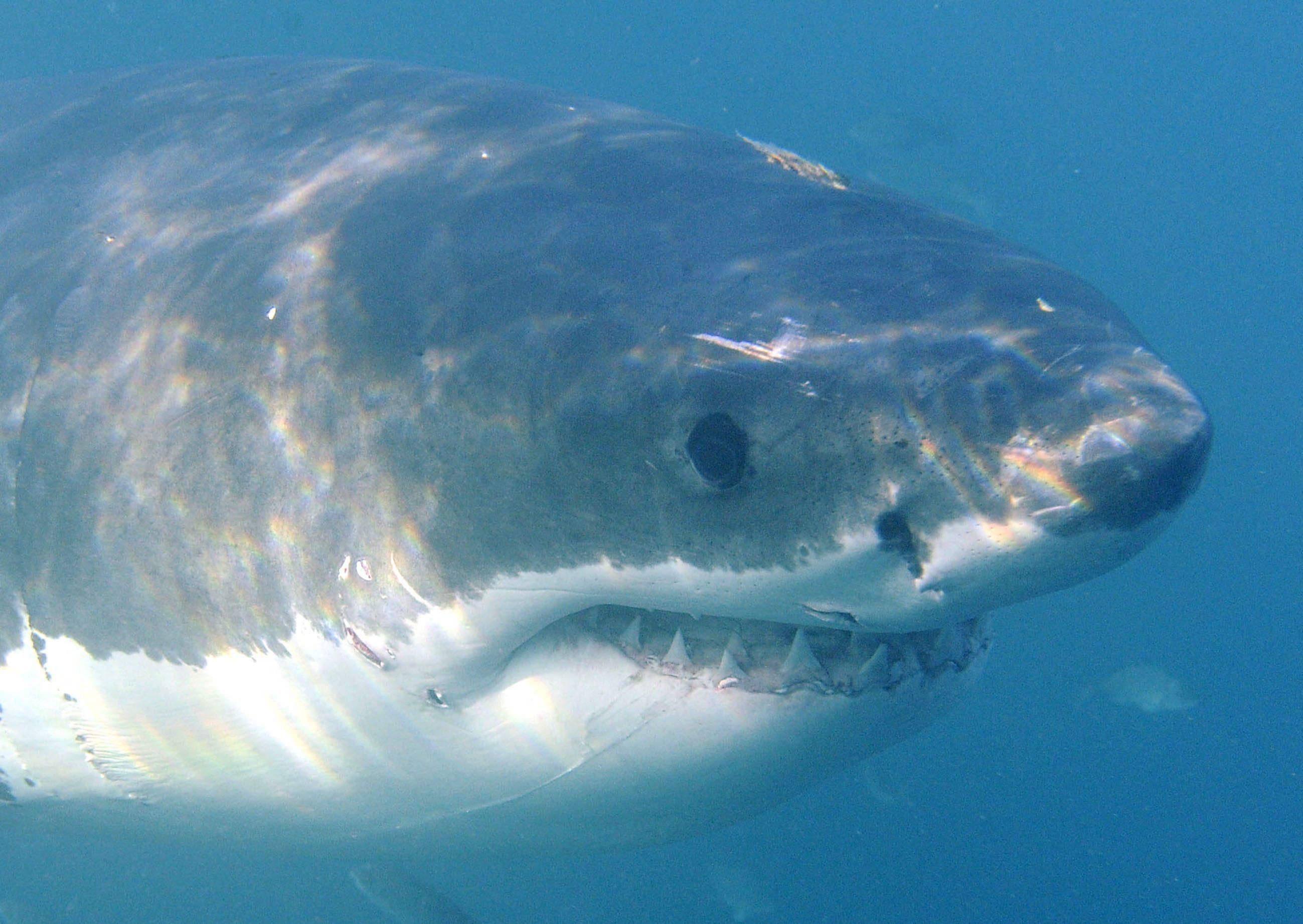 Avvistato uno squalo a MessinaLe raccomandazioni delle Capitaneria