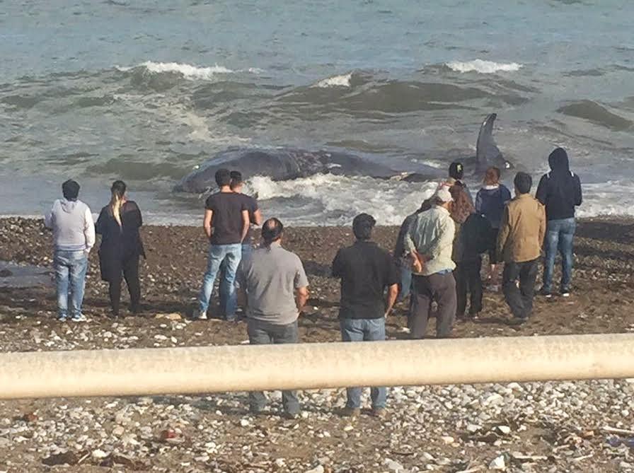 Balena morta sul litorale di Aspra