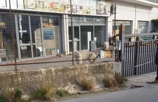 Una tigre è scappata dal circo di Monreale: sul luogo i carabinieri