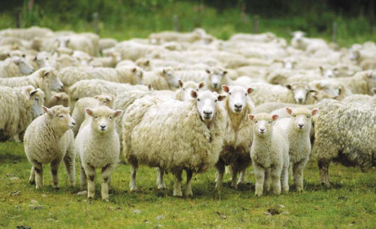 135 Pecore E 4 Cani Pastore Sgozzati Dallallevatore Live Sicilia