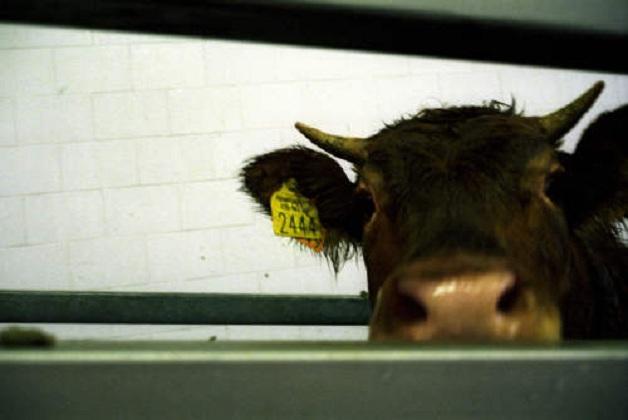 Caso sospetto di mucca pazza: donna campana deceduta